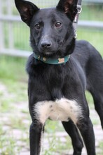 JOLO, Hund, Pinscher-Mix in Lohra-Reimershausen - Bild 1