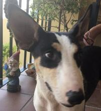 LINDA, Hund, Podenco-Mix in Spanien - Bild 1