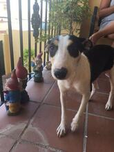 LINDA, Hund, Podenco-Mix in Spanien - Bild 3