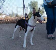LINDA, Hund, Podenco-Mix in Spanien - Bild 4