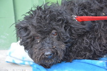MIRA, Hund, Puli-Mix in Ungarn - Bild 1