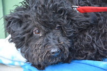 MIRA, Hund, Puli-Mix in Ungarn - Bild 2