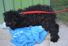 MIRA, Hund, Puli-Mix in Ungarn - Bild 3