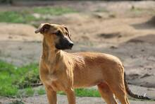 NUTS, Hund, Podenco-Mix in Portugal - Bild 11