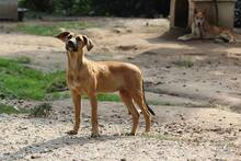 NUTS, Hund, Podenco-Mix in Portugal - Bild 2