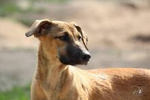 NUTS, Hund, Podenco-Mix in Portugal - Bild 5