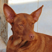 LITTLE, Hund, Podenco in Spanien - Bild 2