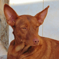 LITTLE, Hund, Podenco in Spanien - Bild 3