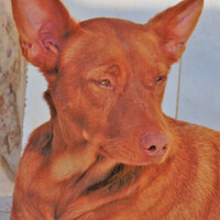 LITTLE, Hund, Podenco in Spanien - Bild 4