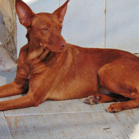 LITTLE, Hund, Podenco in Spanien - Bild 5