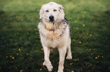 MANSON, Hund, Siberian Husky-Mix in Slowakische Republik - Bild 1