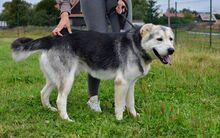 MANSON, Hund, Siberian Husky-Mix in Slowakische Republik - Bild 3