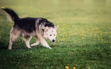 MANSON, Hund, Siberian Husky-Mix in Slowakische Republik - Bild 5