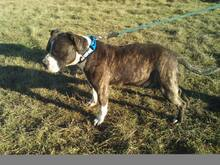 MIKI, Hund, Staffordshire Bull Terrier-Mix in Neuss - Bild 3