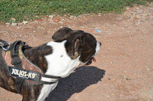 MIKI, Hund, Staffordshire Bull Terrier-Mix in Neuss - Bild 5