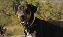 MEMFIS, Hund, Dobermann-Mix in Spanien - Bild 1