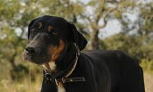MEMFIS, Hund, Dobermann-Mix in Spanien - Bild 2