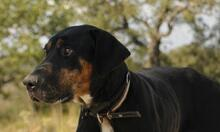MEMFIS, Hund, Dobermann-Mix in Spanien - Bild 3