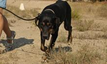 MEMFIS, Hund, Dobermann-Mix in Spanien - Bild 5