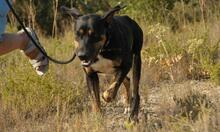 MEMFIS, Hund, Dobermann-Mix in Spanien - Bild 7