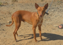 COFFEE, Hund, Podenco in Spanien - Bild 1