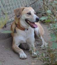 HARVEY, Hund, Labrador-Mix in Spanien - Bild 3
