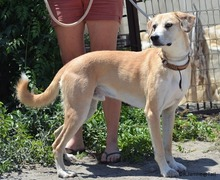 HARVEY, Hund, Labrador-Mix in Spanien - Bild 4