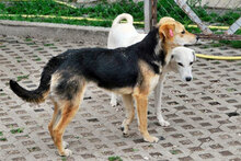 ADA, Hund, Beagle-Mix in Bulgarien - Bild 8