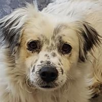 DUSS, Hund, English Setter-Volpino Italiano-Mix in Italien - Bild 1