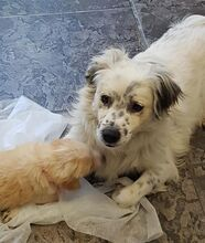 DUSS, Hund, English Setter-Volpino Italiano-Mix in Italien - Bild 10