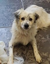 DUSS, Hund, English Setter-Volpino Italiano-Mix in Italien - Bild 2