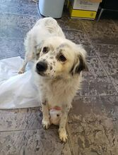 DUSS, Hund, English Setter-Volpino Italiano-Mix in Italien - Bild 3