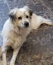 DUSS, Hund, English Setter-Volpino Italiano-Mix in Italien - Bild 4