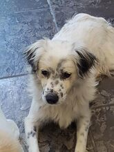 DUSS, Hund, English Setter-Volpino Italiano-Mix in Italien - Bild 5