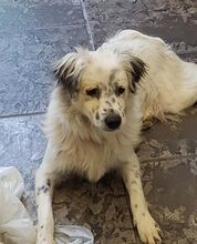 DUSS, Hund, English Setter-Volpino Italiano-Mix in Italien - Bild 6