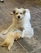 DUSS, Hund, English Setter-Volpino Italiano-Mix in Italien - Bild 7