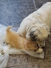 DUSS, Hund, English Setter-Volpino Italiano-Mix in Italien - Bild 8