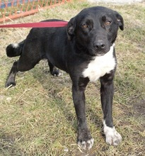 ELIA, Hund, Border Collie-Labrador-Mix in Kroatien - Bild 1