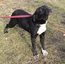 ELIA, Hund, Border Collie-Labrador-Mix in Kroatien - Bild 7