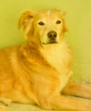 BILLY, Hund, Golden Retriever-Mix in Italien - Bild 1