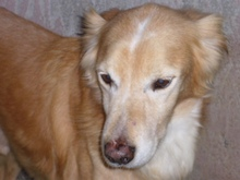 BILLY, Hund, Golden Retriever-Mix in Italien - Bild 2