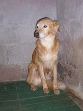 BILLY, Hund, Golden Retriever-Mix in Italien - Bild 4