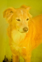 BILLY, Hund, Golden Retriever-Mix in Italien - Bild 5