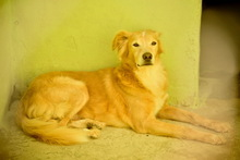 BILLY, Hund, Golden Retriever-Mix in Italien - Bild 6