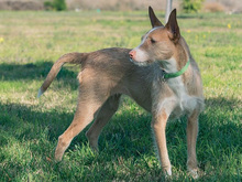 MECHA, Hund, Podenco-Mix in Spanien - Bild 11
