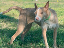 MECHA, Hund, Podenco-Mix in Spanien - Bild 12
