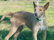MECHA, Hund, Podenco-Mix in Spanien - Bild 13