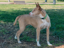 MECHA, Hund, Podenco-Mix in Spanien - Bild 16