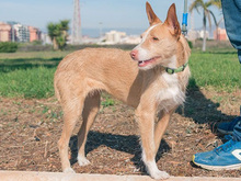MECHA, Hund, Podenco-Mix in Spanien - Bild 20