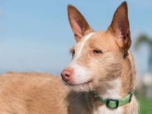 MECHA, Hund, Podenco-Mix in Spanien - Bild 21